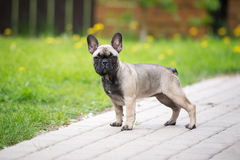 French bulldog puppy standing Stock Image