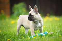 French bulldog puppy standing Royalty Free Stock Image