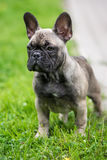 French bulldog puppy standing Stock Photo