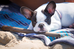 French bulldog puppy with stick. French bulldog puppy lying on the beach with stick Royalty Free Stock Photos