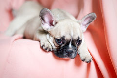 French bulldog puppy in a studio. With a pink background Royalty Free Stock Images
