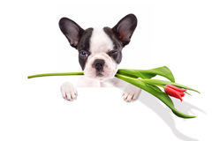 French bulldog puppy with tulip Stock Photography