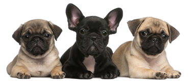 French Bulldog puppy between two Pug puppies