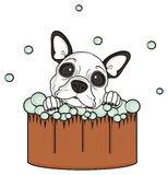 French bulldog puppy wash Stock Photography