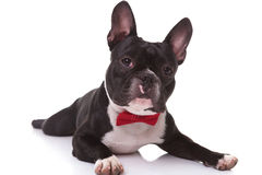 French bulldog puppy wearing bow tie lying down Royalty Free Stock Image