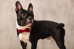 French bulldog puppy wearing a red bowtie while looking away Royalty Free Stock Images