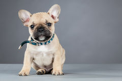French Bulldog Puppy Wearing Rhinestone Collar Royalty Free Stock Images