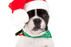 French bulldog puppy wearing a santa cap Stock Photography