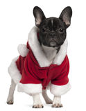 French bulldog puppy wearing Santa outfit Royalty Free Stock Photo