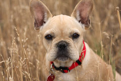 French bulldog puppy in wheat field. A French bulldog pup shows complete indifference as his photo is taken Royalty Free Stock Image