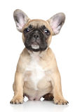 French bulldog puppy on a white background royalty free stock image