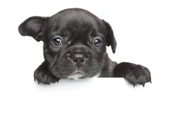 French bulldog puppy white banner. French bulldog puppy above white banner Stock Images
