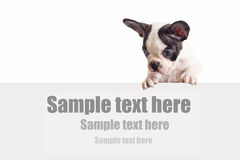 French bulldog puppy with white board. And sample text Stock Photography