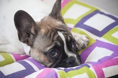 French bulldog puppy, white brown, sweet, tender, rest. French bulldog puppy, white brown, curious, funny Royalty Free Stock Images