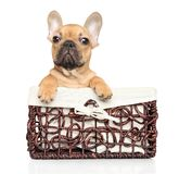French Bulldog puppy in wicker basket stock images
