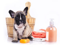 French  bulldog puppy in wooden wash basin Stock Image