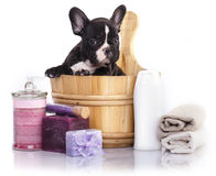 French  bulldog puppy in wooden wash Stock Images