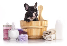 French  bulldog puppy in wooden wash Royalty Free Stock Photo