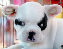 French bulldog puppy Stock Images