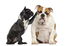 French bulldog reaching at a bored English bulldog, isolated Royalty Free Stock Photography