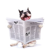 French bulldog reading newspaper. Over white Stock Photo