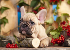 French  bulldog and red berry Stock Photography