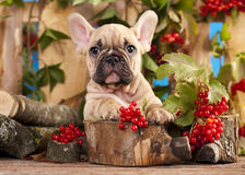 French  bulldog and red berry Royalty Free Stock Photography