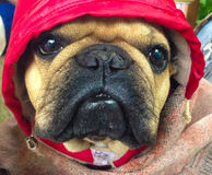French Bulldog. In red hoody Stock Photos