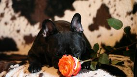 French bulldog red rose flower hd footage. Day light stock video footage