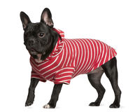 French Bulldog in red and white striped shirt Stock Image