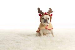 French Bulldog Reindeer. Little blonde French Bulldog dresses as a reindeer stock photo