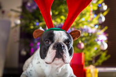 French bulldog with reindeer horns Royalty Free Stock Images