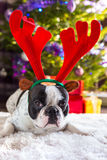 French bulldog with reindeer horns Royalty Free Stock Photography