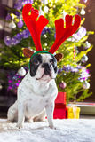 French bulldog with reindeer horns Stock Image
