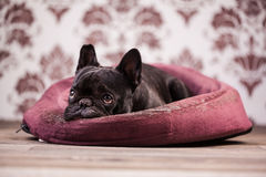 French bulldog relaxing Stock Photography