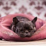 French bulldog relaxing Stock Image