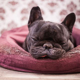 French bulldog relaxing Royalty Free Stock Image