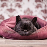 French bulldog relaxing Royalty Free Stock Photography