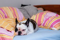 French bulldog in bed. French bulldog relaxing in human bed with person in background Stock Photo