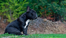 French bulldog. Resting. dog looking straight ahead Royalty Free Stock Image