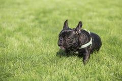 Black French Bulldog Stock Photos