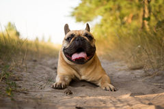 French bulldog resting after running in the field. Stock Image