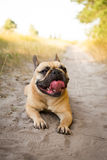 French bulldog resting after running in the field. Stock Images