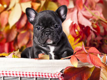 French bulldog and rowan berries Stock Image