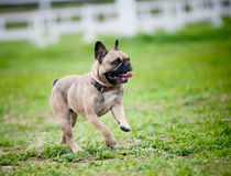 French bulldog. Running on a field Royalty Free Stock Images