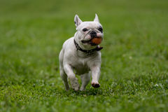 French bulldog running in the garden royalty free stock photography