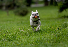 French bulldog running in the garden stock image
