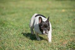 French bulldog running in the garden stock images