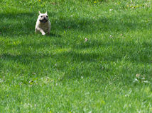 French bulldog running Stock Photography