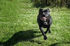 French bulldog is running in the garden stock image